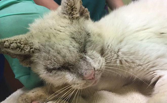 """Nhận nuôi chú mèo mù lòa thân tàn ma dại, cô gái giúp con vật """"lột xác"""" thần kỳ nhưng ngỡ ngàng hơn khi nó mở to đôi mắt"""