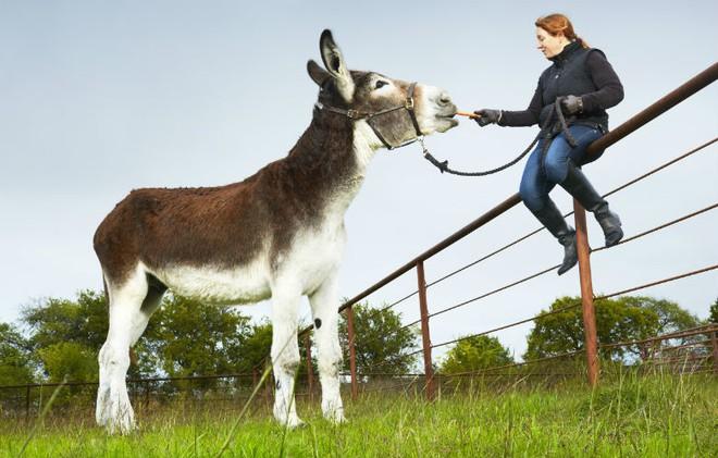 Kỷ lục Guinness: Con lừa cao nhất thế giới, đến ngựa cũng phải... chào thua! - Ảnh 1.