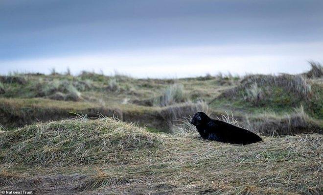 Hải cẩu đen quý hiếm bất ngờ lộ diện ở khu bảo tồn Anh - Ảnh 3.
