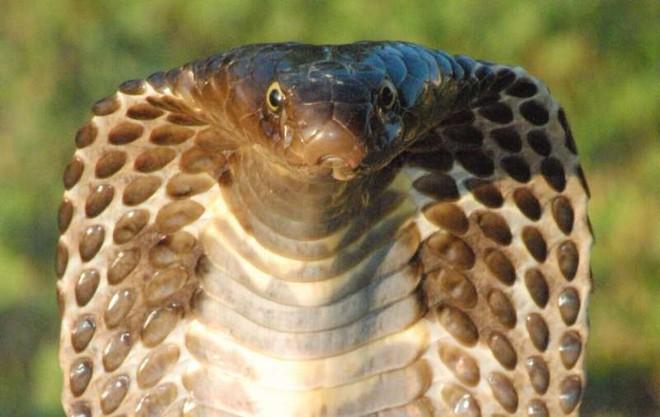 Phát hiện mới về sự tiến hóa của loài rắn: Cơ chế nam châm giúp chúng kháng lại nọc độc kẻ thù - Ảnh 3.