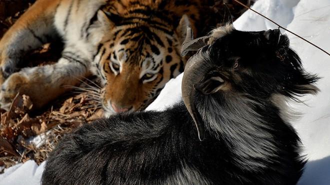Sở thú thả con dê sống vào chuồng cho hổ ăn thịt: Hôm sau quay lại, cảnh tượng trong chuồng hổ thật khó tin - Ảnh 1.