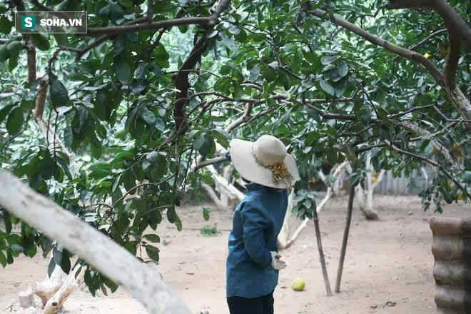 Trồng loại quả chín vàng, để càng héo càng thơm ngon, nông dân Hà Nội thu nửa tỷ vụ Tết - Ảnh 13.