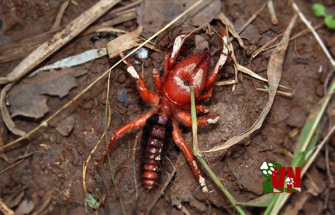 Bí mật về loài nhện lạc đà duy nhất ở Việt Nam, hãy cẩn thận nếu thấy chúng bò vào nhà - Ảnh 1.