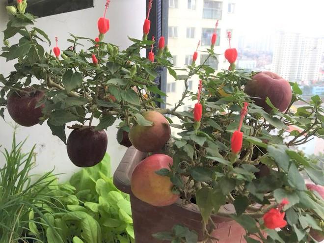 Cây táo nở ra hoa dâm bụt và những lần nhà giàu bị hố khi chi tiền triệu mua cây cảnh Tết - Ảnh 1.