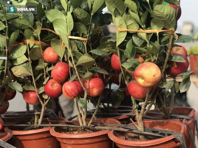 Cây táo nở ra hoa dâm bụt và những lần nhà giàu bị hố khi chi tiền triệu mua cây cảnh Tết - Ảnh 3.