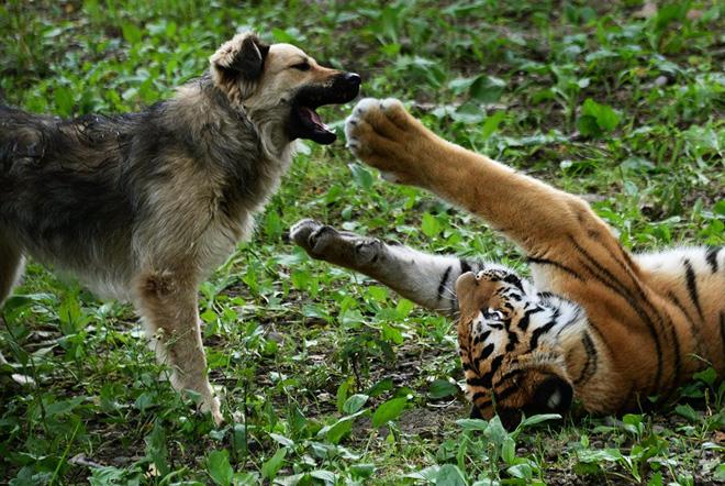 Nhân viên sở thú thả chó vào chuồng hổ khiêu chiến: Thái độ của chúa sơn lâm sau đó khiến họ ngỡ ngàng - Ảnh 5.