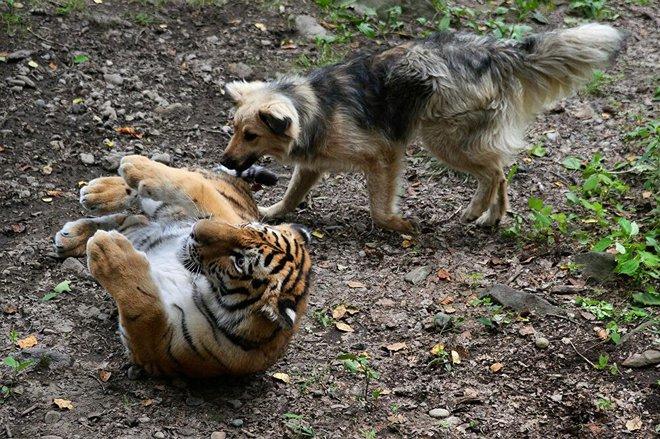 Nhân viên sở thú thả chó vào chuồng hổ khiêu chiến: Thái độ của chúa sơn lâm sau đó khiến họ ngỡ ngàng - Ảnh 6.