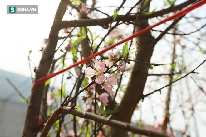 Đào rừng đổ bộ Thủ đô, cành hoa Tết 25 triệu xuất hiện chi tiết lạ chưa từng có - Ảnh 7.