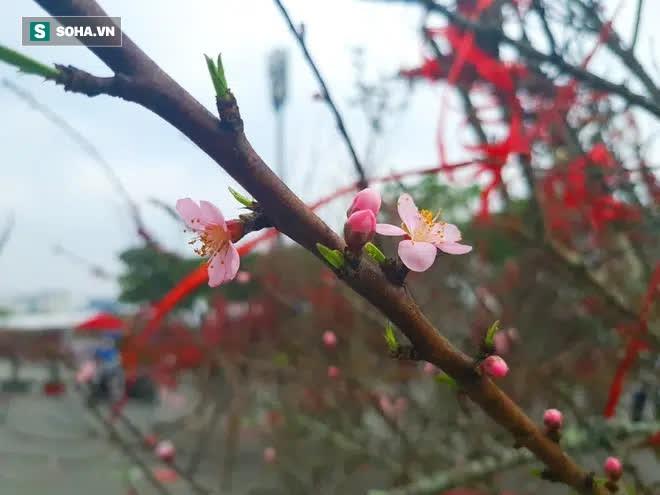 Đào rừng đổ bộ Thủ đô, cành hoa Tết 25 triệu xuất hiện chi tiết lạ chưa từng có - Ảnh 6.