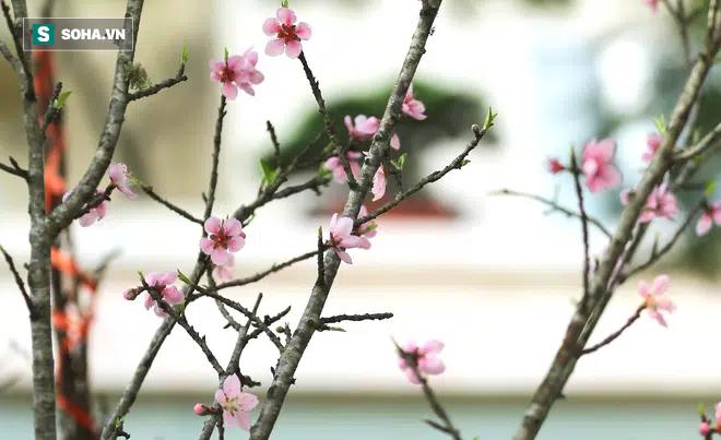 Đào rừng đổ bộ Thủ đô, cành hoa Tết 25 triệu xuất hiện chi tiết lạ chưa từng có - Ảnh 10.
