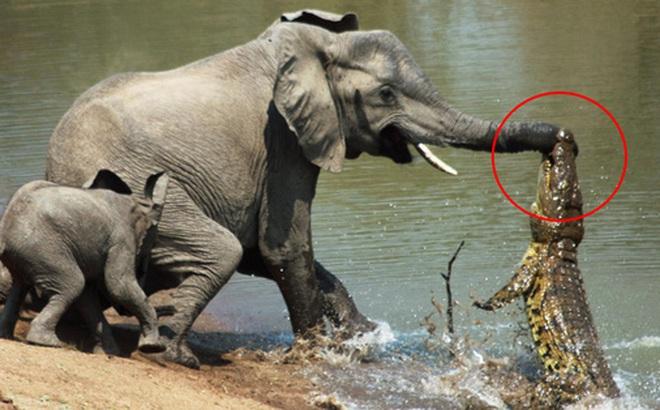 Đến mép hồ nước thì đột ngột bị cá sấu cắn vào vòi, voi mẹ cố bỏ chạy nhưng phải nhờ hành động ngây thơ của voi con mới cứu mạng 2 mẹ con