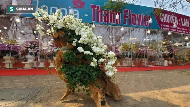 Ngắm lan hồ điệp độ gỗ hương đẹp lạ, chờ đại gia Việt chưng Tết - Ảnh 1.