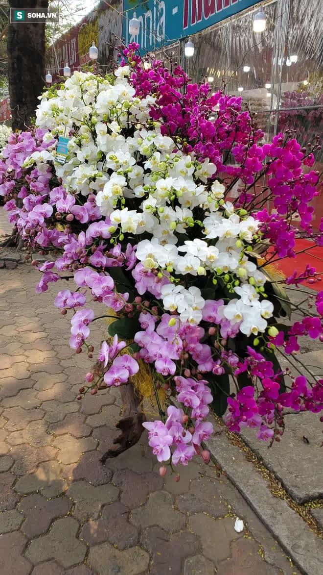 Ngắm lan hồ điệp độ gỗ hương đẹp lạ, chờ đại gia Việt chưng Tết - Ảnh 4.