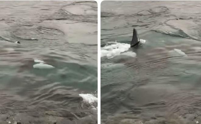 Cá voi sát thủ rượt đuổi hải cẩu kinh hoàng
