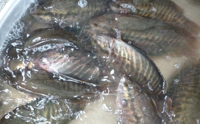 Hơn 1 tấn cá sặc bổi của người dân bị chết do sét đánh