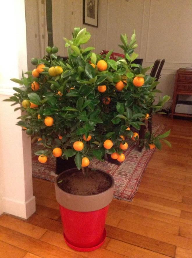 Chuyện cây quất tết chu du nửa vòng trái đất - ảnh 3