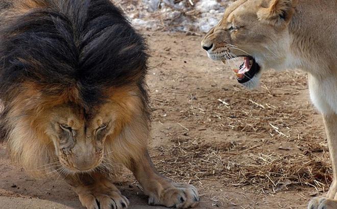 """Bức ảnh chứng minh câu nói """"Nhà là phải có nóc"""" của gia đình sư tử khiến dân mạng được phen cười nghiêng ngả còn chị em tâm đắc lắm!"""
