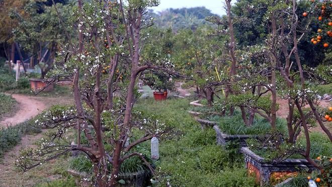Nỗi đau sau Tết: Cây cảnh ế đầy vườn, nông dân ôm nợ - Ảnh 2.