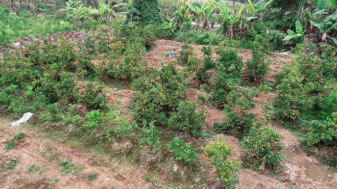 Nỗi đau sau Tết: Cây cảnh ế đầy vườn, nông dân ôm nợ - Ảnh 6.