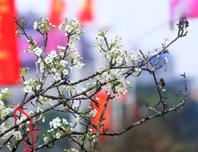Người Hà Nội mạnh tay chi tiền triệu mua hoa lê trắng, gốc xù xì chơi sau Tết - Ảnh 2.