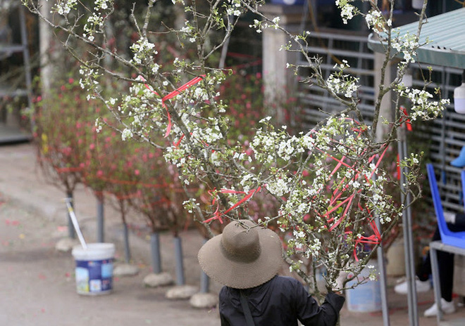 Người Hà Nội mạnh tay chi tiền triệu mua hoa lê trắng, gốc xù xì chơi sau Tết - Ảnh 3.