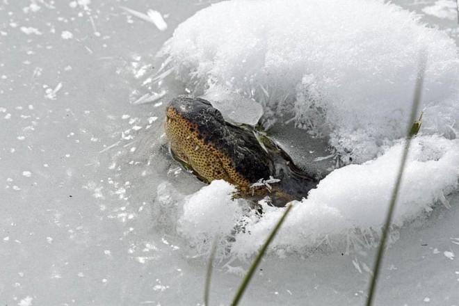 Bão tuyết khắc nghiệt ở Mỹ: Cá sấu có hành động lạ khiến nhiều người lo lắng - Ảnh 3.