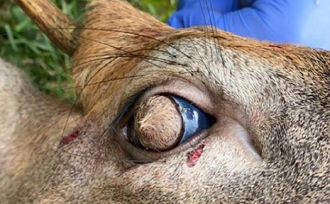 Đôi mắt của hươu mọc lông bên trong nhãn cầu