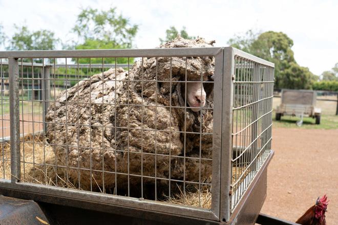 Chú cừu nhận cái kết đắng sau nhiều năm trốn khỏi vòng tay của con người - Ảnh 1.