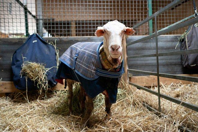 Chú cừu nhận cái kết đắng sau nhiều năm trốn khỏi vòng tay của con người - Ảnh 2.