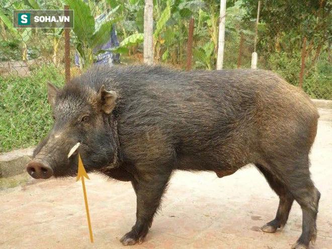 Sự thật đằng sau những chiếc nanh lợn rừng nuôi - Ảnh 1.