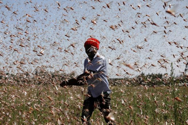 Từng đàn châu chấu chục triệu con bủa vây giăng kín trời Đông Phi: Người dân tương kế tựu kế thu lợi lớn - Ảnh 1.