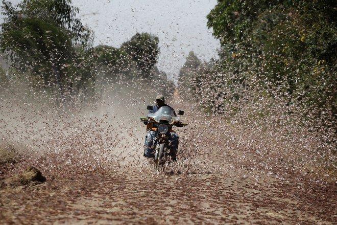 Từng đàn châu chấu chục triệu con bủa vây giăng kín trời Đông Phi: Người dân tương kế tựu kế thu lợi lớn - Ảnh 5.