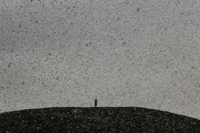 Từng đàn châu chấu chục triệu con bủa vây giăng kín trời Đông Phi: Người dân tương kế tựu kế thu lợi lớn - Ảnh 7.
