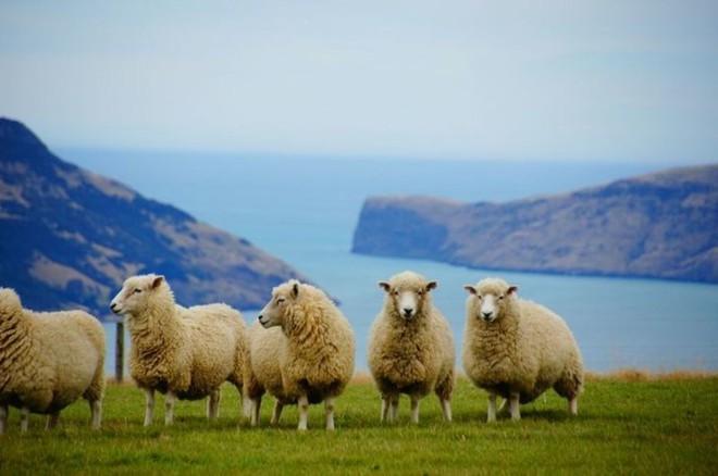 Đút túi ngon ơ gần 4 tỷ/năm với công việc đơn giản từ sáng đến chiều chỉ đi trực thăng và ôm cừu - Ảnh 1.