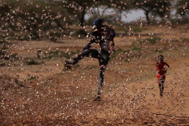 Từng đàn châu chấu chục triệu con bủa vây giăng kín trời Đông Phi: Người dân tương kế tựu kế thu lợi lớn - Ảnh 8.