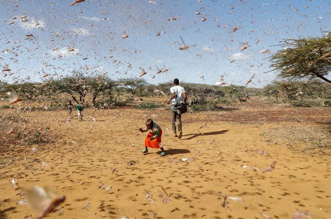 Từng đàn châu chấu chục triệu con bủa vây giăng kín trời Đông Phi: Người dân tương kế tựu kế thu lợi lớn - Ảnh 9.