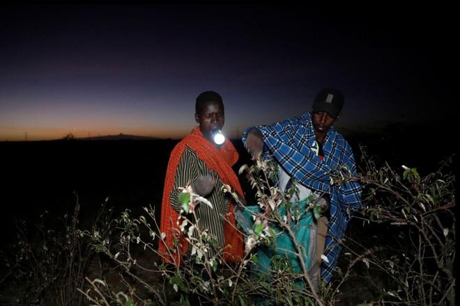 Từng đàn châu chấu chục triệu con bủa vây giăng kín trời Đông Phi: Người dân tương kế tựu kế thu lợi lớn - Ảnh 13.