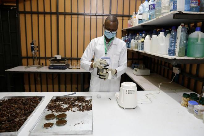 Từng đàn châu chấu chục triệu con bủa vây giăng kín trời Đông Phi: Người dân tương kế tựu kế thu lợi lớn - Ảnh 16.