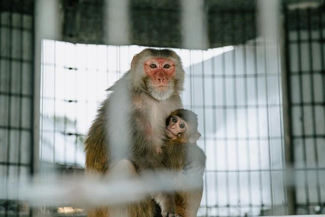 Dự trữ khỉ chiến lược: Mỹ đang chậm chân hơn TQ trong cuộc cạnh tranh khốc liệt giữa đại dịch Covid-19 - Ảnh 1.