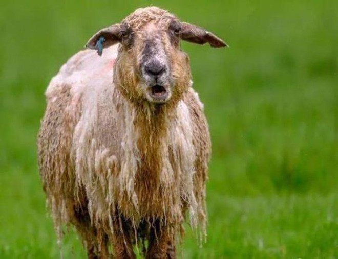 Đút túi ngon ơ gần 4 tỷ/năm với công việc đơn giản từ sáng đến chiều chỉ đi trực thăng và ôm cừu - Ảnh 2.