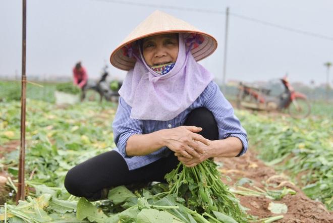 Cận cảnh người dân Hà Nội nhổ bỏ hàng trăm tấn củ cải vì không bán được  - Ảnh 2.