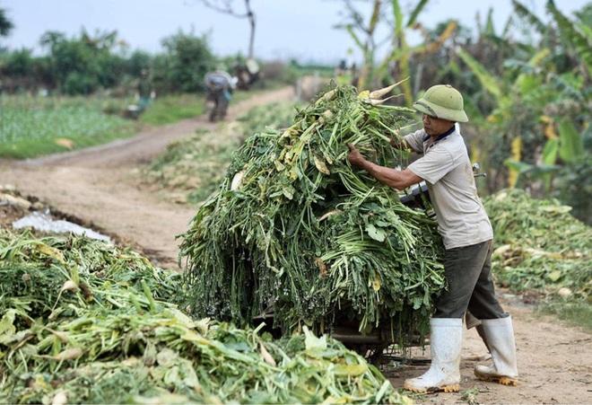 Cận cảnh người dân Hà Nội nhổ bỏ hàng trăm tấn củ cải vì không bán được  - Ảnh 6.