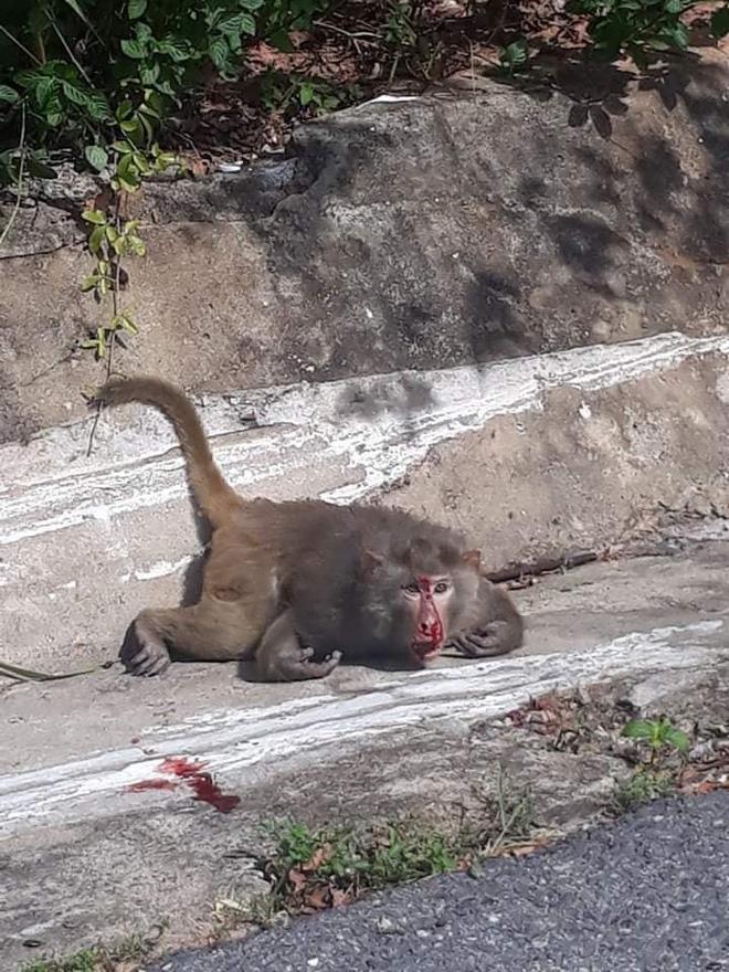 Hàng loạt tai nạn thương tâm, người dân Đà Nẵng vẫn vặc lại BQL Bán đảo Sơn Trà khi bị nhắc nhở chiều hư đàn khỉ - Ảnh 4.