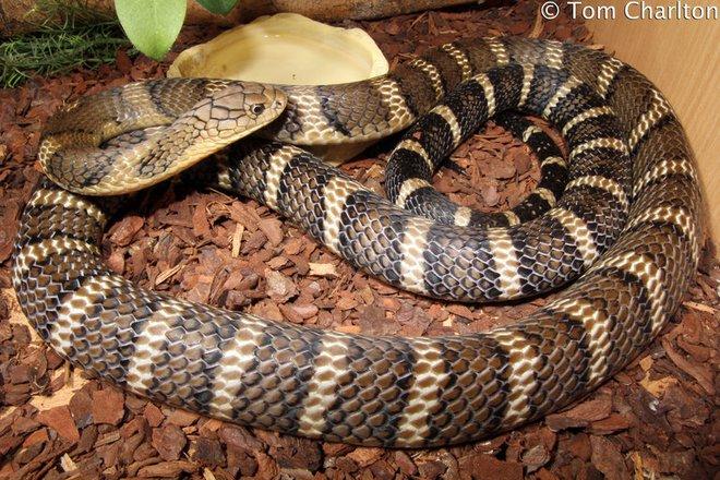 Loài rắn độc nhất Việt Nam: Cạp nong, cạp nia hay hổ mang chúa cũng không có cửa - Ảnh 4.