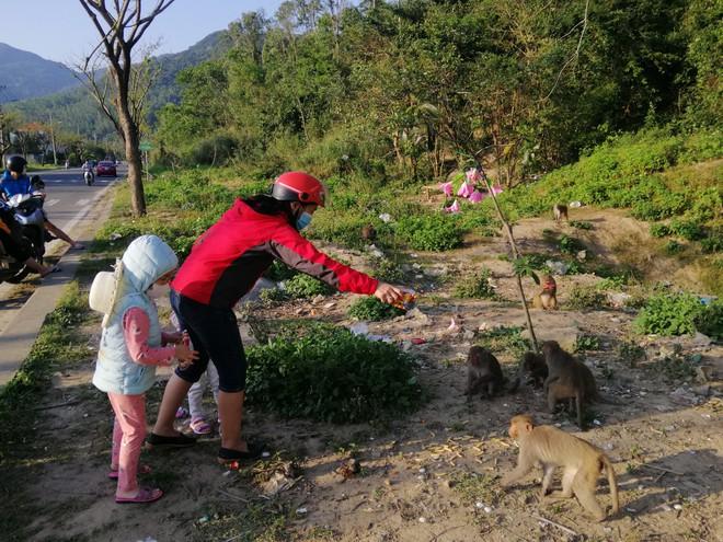 Hàng loạt tai nạn thương tâm, người dân Đà Nẵng vẫn vặc lại BQL Bán đảo Sơn Trà khi bị nhắc nhở chiều hư đàn khỉ - Ảnh 2.