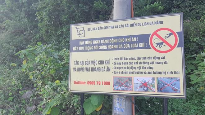 Hàng loạt tai nạn thương tâm, người dân Đà Nẵng vẫn vặc lại BQL Bán đảo Sơn Trà khi bị nhắc nhở chiều hư đàn khỉ - Ảnh 3.