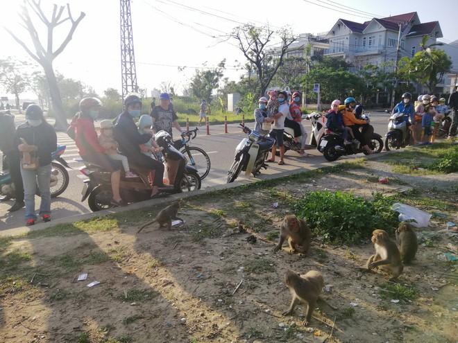 Hàng loạt tai nạn thương tâm, người dân Đà Nẵng vẫn vặc lại BQL Bán đảo Sơn Trà khi bị nhắc nhở chiều hư đàn khỉ - Ảnh 1.