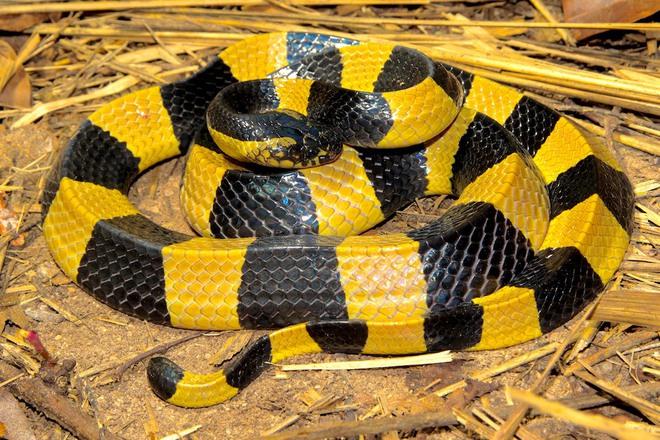 Loài rắn độc nhất Việt Nam: Cạp nong, cạp nia hay hổ mang chúa cũng không có cửa - Ảnh 1.
