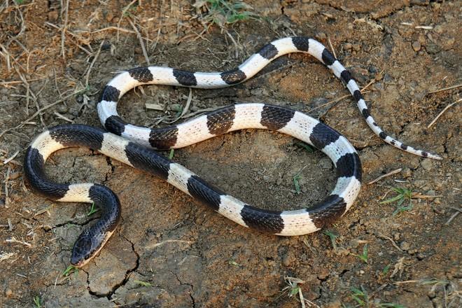 Loài rắn độc nhất Việt Nam: Cạp nong, cạp nia hay hổ mang chúa cũng không có cửa - Ảnh 2.