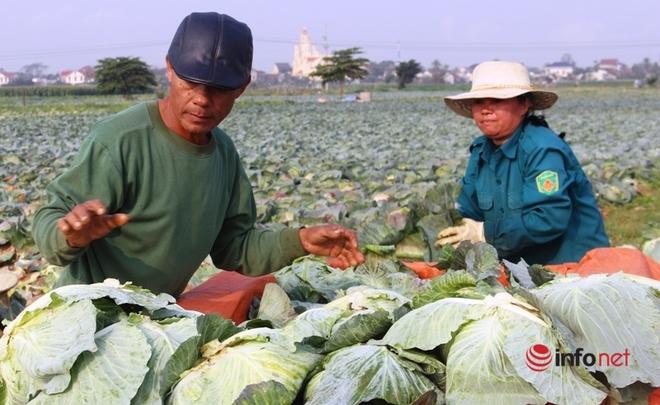 Bán cả xe 200-300 bắp cải được 100 nghìn đồng, dân Nghệ An 'khóc ròng' - Ảnh 1.
